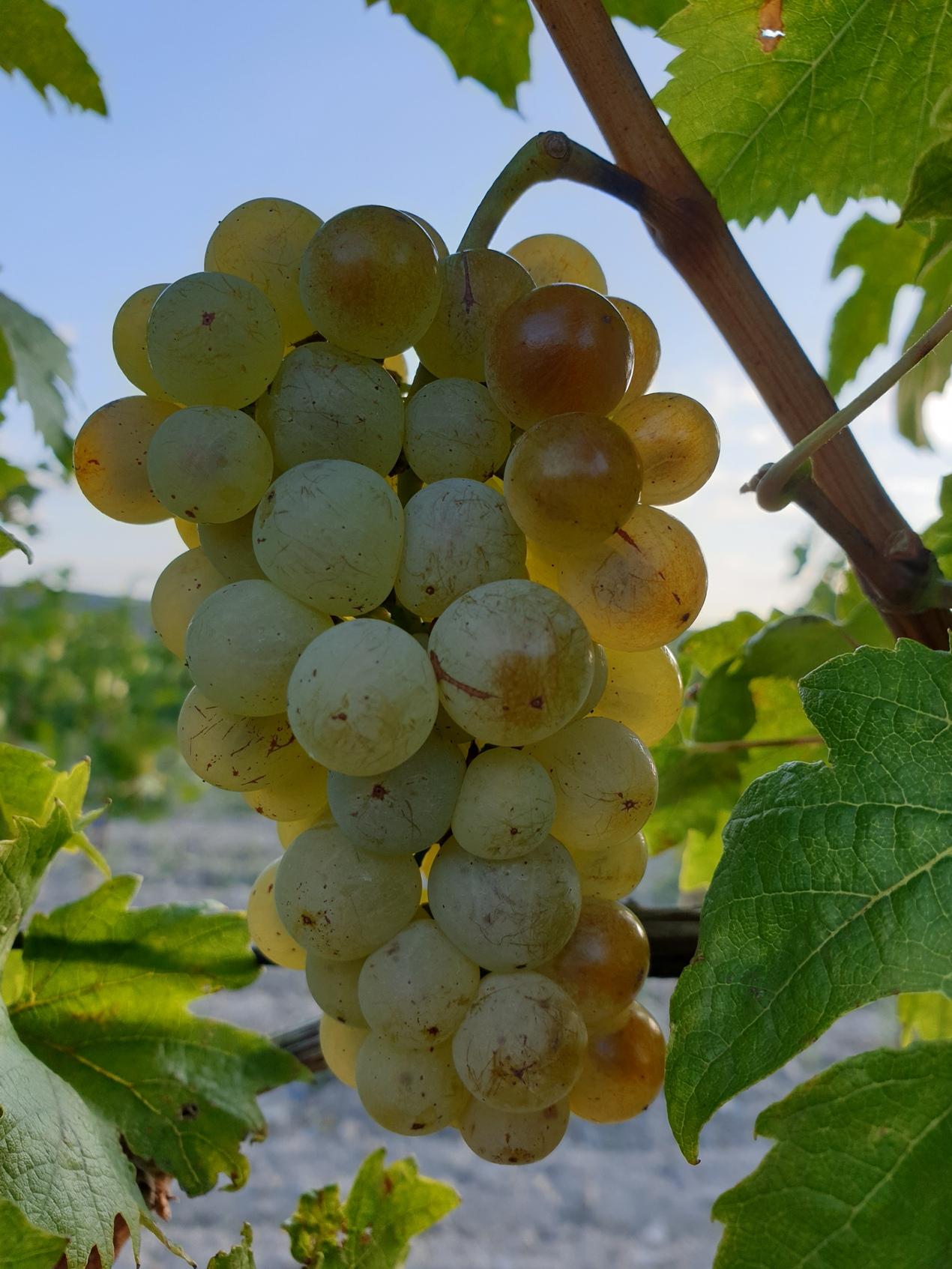 Čapované víno Rizling vlašský 2020 polosuché v predaji